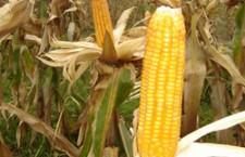 Logic, mulţi agricultori se gîndesc la sorg