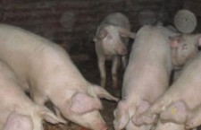 La porcine, se resimte acut lipsa fermelor de reproducţie