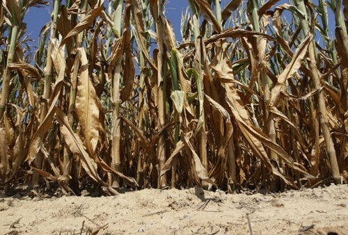 Culturile de porumb şi floarea soarelui, grav afectate de secetă