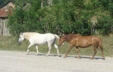 """Cai lăsaţi liberi pe şosele, """"actorii"""" unei tragedii rutiere"""