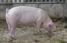 Teleorman: 215 de focare de pestă porcină africană active în gospodăriile populației și alte 532 de cazuri la mistreți