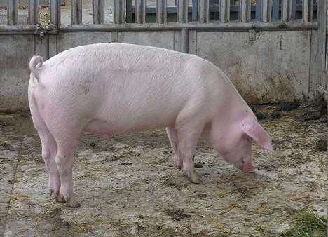 Un alt focar de pestă porcină în judeţul vecin, Giurgiu / Deocamdată, pentru Teleorman, ultimele rezultate de la Laboratorul Central sunt tot negative
